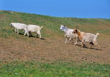 Goats in the countryside , Romania  Stock Photos