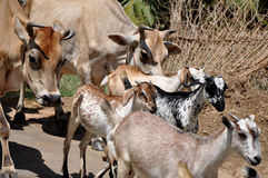 Goats & cow. Goats and cow are going to form Royalty Free Stock Image