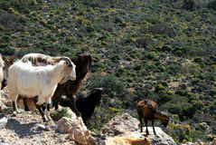 Goats and Cretan spring-blooming countryside. Up-country of Paleochora, southwest Crete,Greece Royalty Free Stock Image