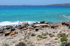 Goats of Crete Royalty Free Stock Photography
