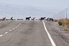 Goats crossing the road on Atacama desert Royalty Free Stock Photography