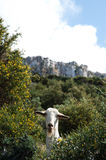 Goats on Cyprus Hills Royalty Free Stock Photography
