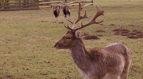 Goats and deer Royalty Free Stock Photos