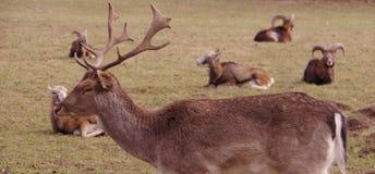 Goats and deer Stock Photos
