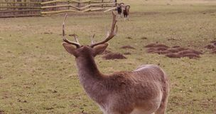 Goats and deer Stock Photography