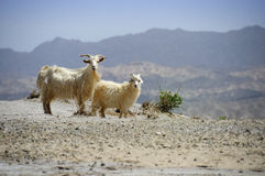 Goats in the desert Stock Photography