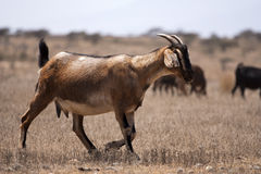 Goats in desert Stock Photos