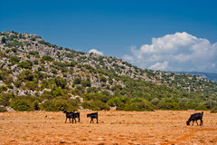Goats in desert Royalty Free Stock Images