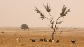 Goats in the Desert Rajasthan India