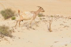 Goats in the deserts of Cape Verde Stock Photo