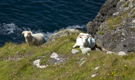 Goats in Dingle Peninsula, Ireland. Royalty Free Stock Images