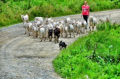 Goats, dog and shepherd Royalty Free Stock Photos