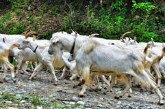Goats, dog and shepherd Stock Image