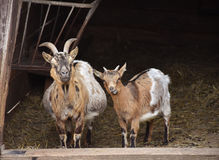 Goats in the doorway of the barn. Stock Photography