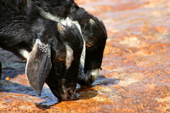 Goats Drinking Water. Two thirsty goats drinking water from mountain spring royalty free stock image