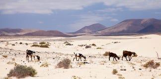 Goats in the dunes of Fuerteventura Stock Image