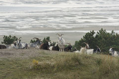 Goats in the dunes of the island Terschelling Royalty Free Stock Photos