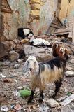 Goats eating anything Stock Image