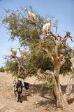Goats eating argan fruits, Essaouira Morocco. Morocco, Essaouira: goats on Argan tree eating fruits Stock Images
