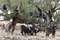 Goats eating Argan Nuts in Morroco Royalty Free Stock Images