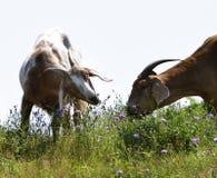 Free Goats Eating Chicory Flower Stock Photo - 44615310
