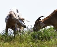 Goats eating Chicory Flower. Domestic goats with horns munch on chicory plants in a farm field Stock Photo