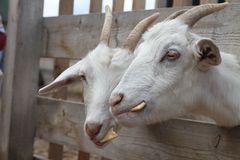 Goats are eating cookies. Russian domestic horned mammal. Royalty Free Stock Photography