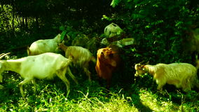 Goats eating grass. Farming. Agriculture. Red goat looking to the camera stock video