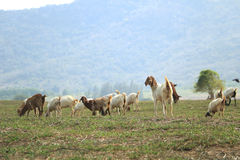 Goats eating grass in a field. Selective focus on a smiling goat and looking to a camera Royalty Free Stock Images