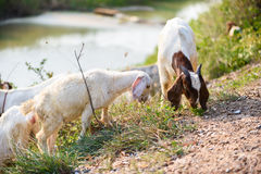 Goats eating grass Stock Images
