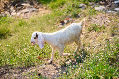 Goats eating grass Royalty Free Stock Image
