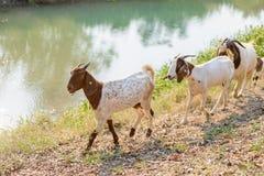 Goats eating grass Stock Photo