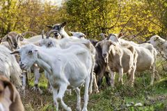 Goats eating grass Royalty Free Stock Photo