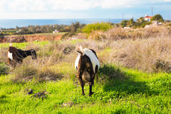 Goats eating grass on a pasture Stock Images