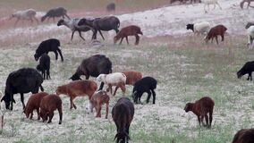 Goats eating grass on pasture field near sand