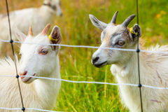 Goats eating grass on pasture Royalty Free Stock Image