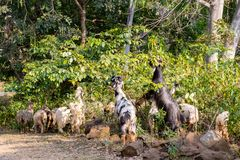 Goats eating green leaves from a bush stock photos