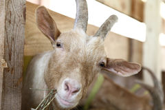 Goats eating hay on the farm Royalty Free Stock Photography