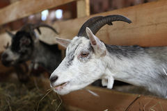 Goats eating hay on the farm Royalty Free Stock Image