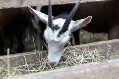 Goats eating hay on the farm Stock Photo