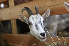 Goats eating hay on the farm Royalty Free Stock Photos