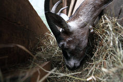 Goats eating hay on the farm Royalty Free Stock Images