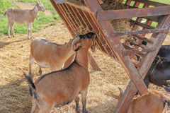 Goats Eating Hay Stock Photo