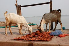 Goats eating oblations in Varanasi / India royalty free stock photo