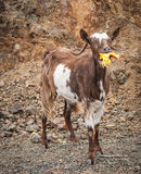 Goats eating oranges, Peloponnese, Greece Stock Photos