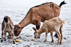 Goats Eating Rubbish Royalty Free Stock Photography