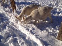 Goats eating snow Royalty Free Stock Image