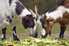 Goats eating vegetable Royalty Free Stock Images