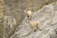 Goats on the Edge. Two young mountain goats standing on a rock face, scratches on the rocks  are from their hooves Royalty Free Stock Photo