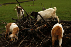 Goats enjoying feeding in a pile of brash Royalty Free Stock Photography